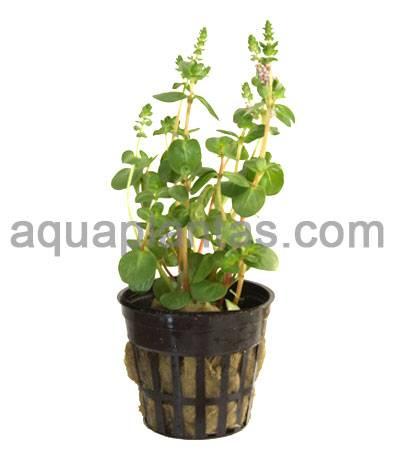 033-Rotala-Rotundifolia.jpg