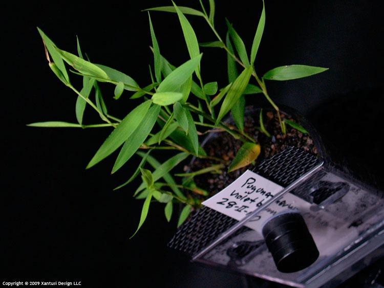 11-iii-10-pogonatherum-crinitum-i-m.jpg