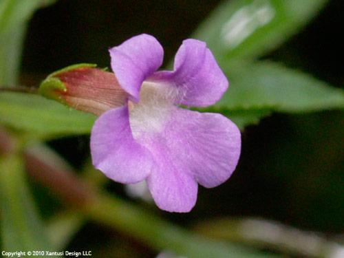 18-ii-10-limnophila-aromatica-iii-s.jpg
