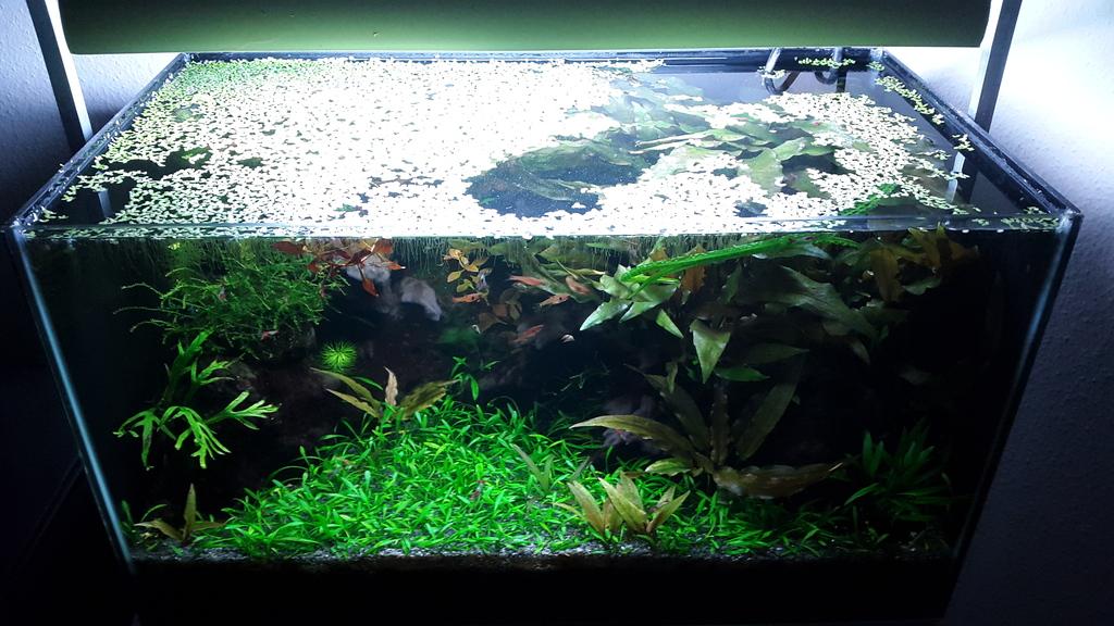 Cryptocoryne Parva Carpet | Page 2 | UK Aquatic Plant Society