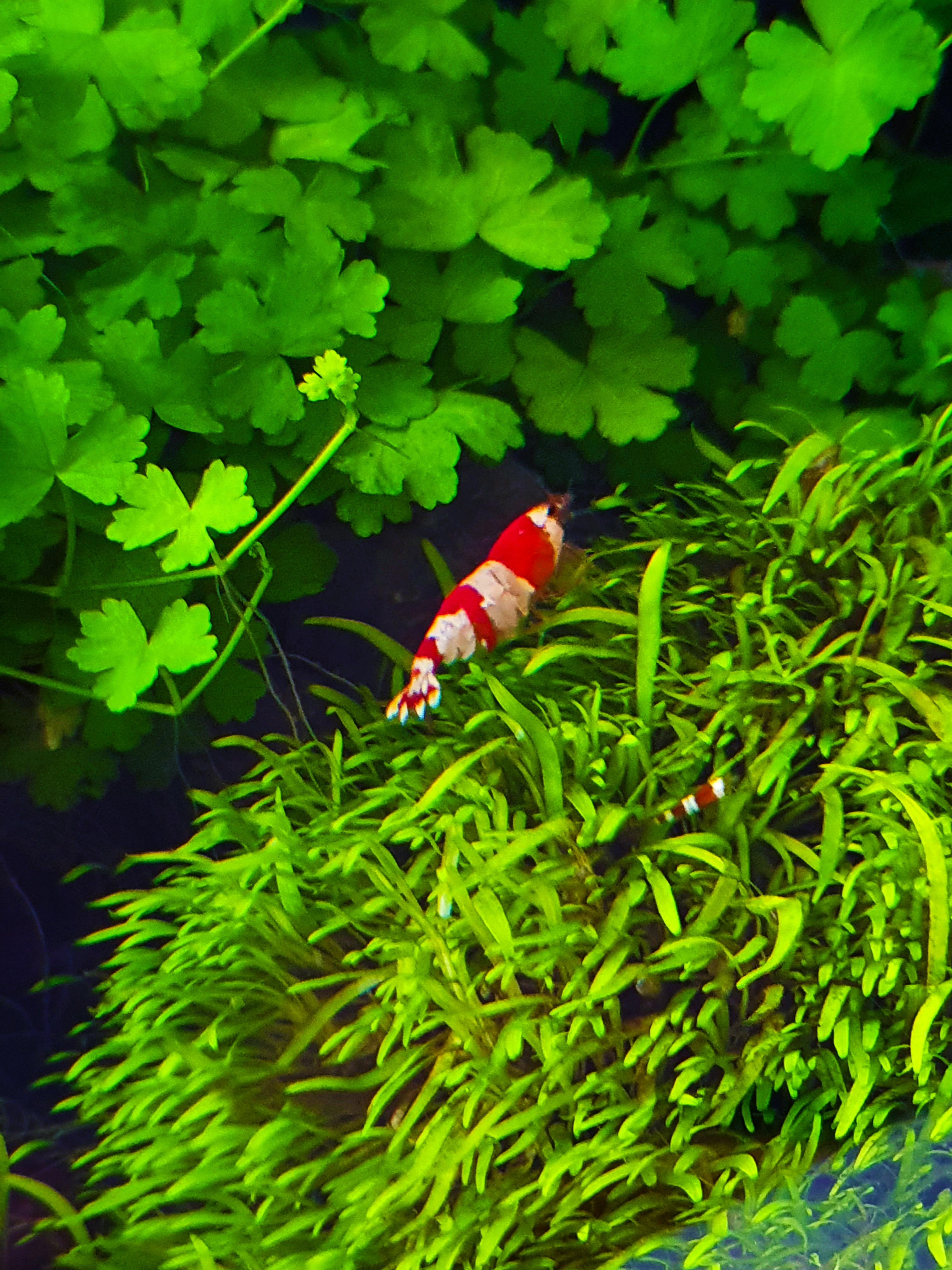 2020-07-28 - Baby Shrimp 2.jpg