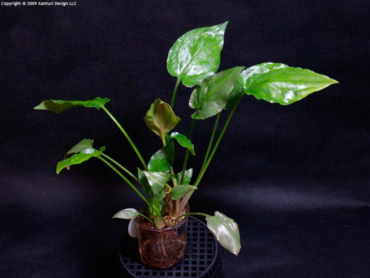 24-i-10-cryptocoryne-pontederiifolia-iii-m.jpg