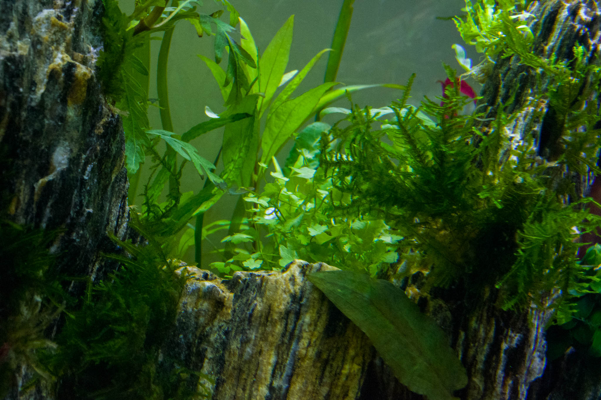 27th September- Hydrocotyle Tripartita and Spiky Moss_IMGP6600.jpg