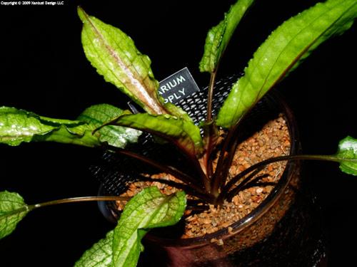 30-x-09-cryptocoryne-wendtii-hybrid-iii-s.jpg