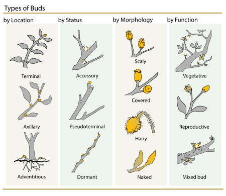 450px-Plant_Buds_clasification.svg.png