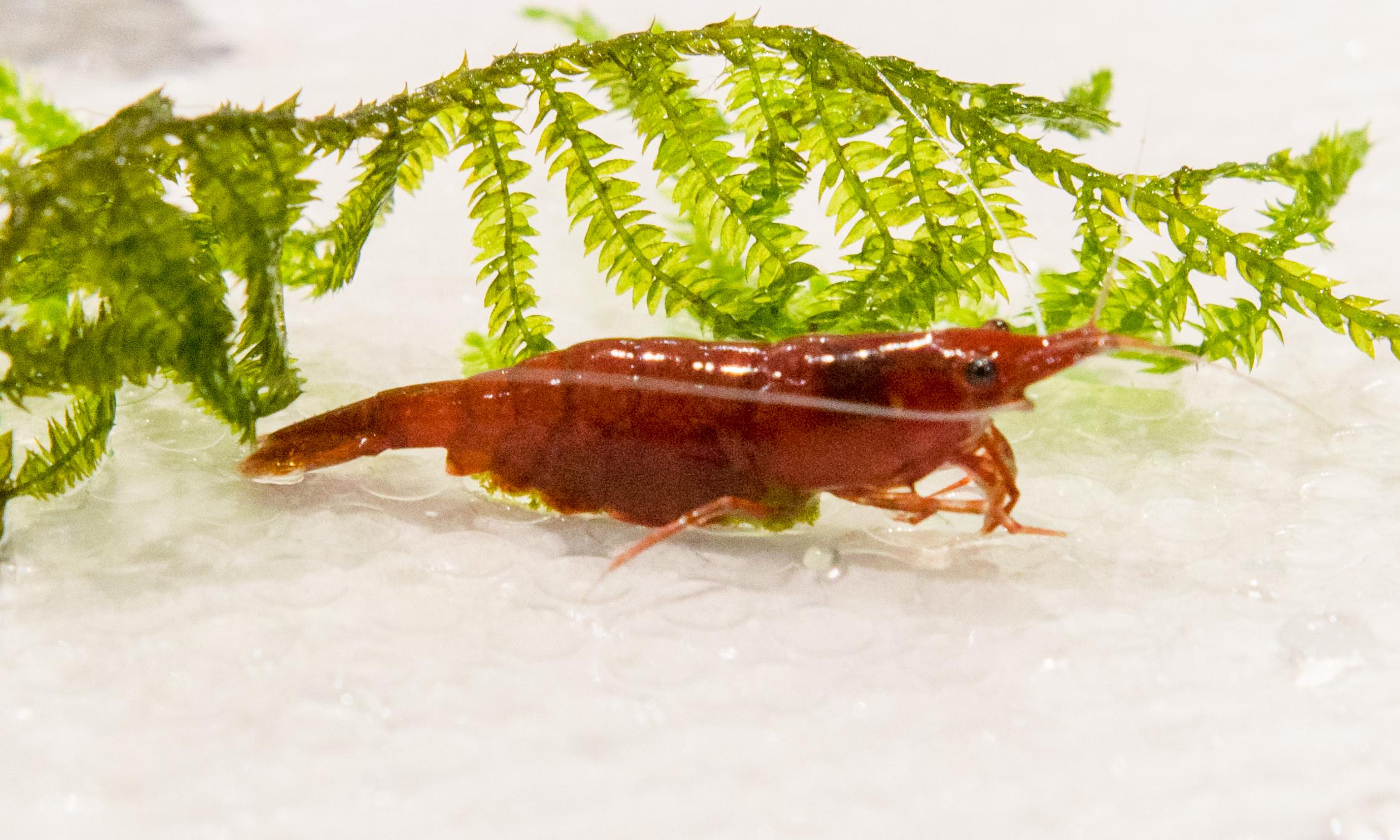 7408 - Dec 26 Ellobiopsidae or not.jpg