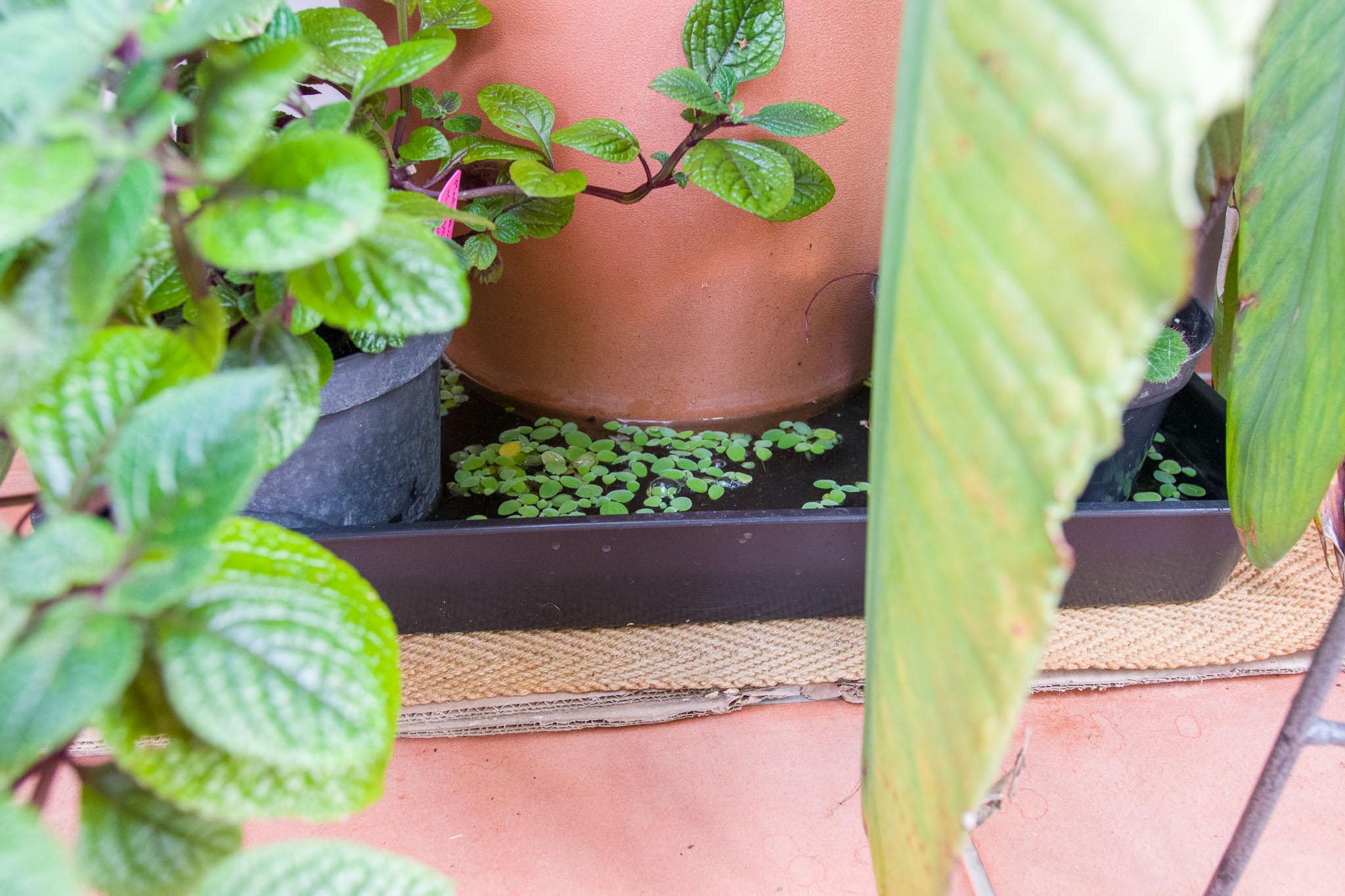 7th November - Water Lettuce Colony_IMGP6854.jpg