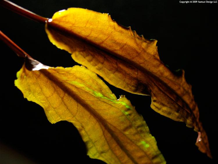 9-xi-09-cryptocoryne-wendtii-ii-m.jpg