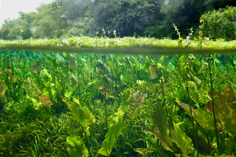 BRDUW0106%28freshwater%20plants%29-L.jpg