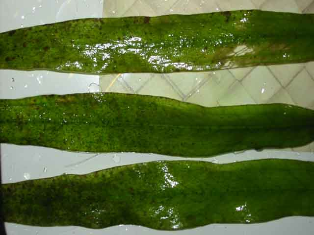 brown20algae.jpg