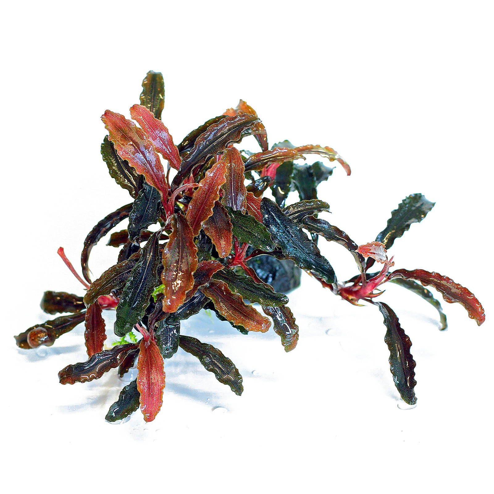 bucephalandra-sp-kedagang.jpg