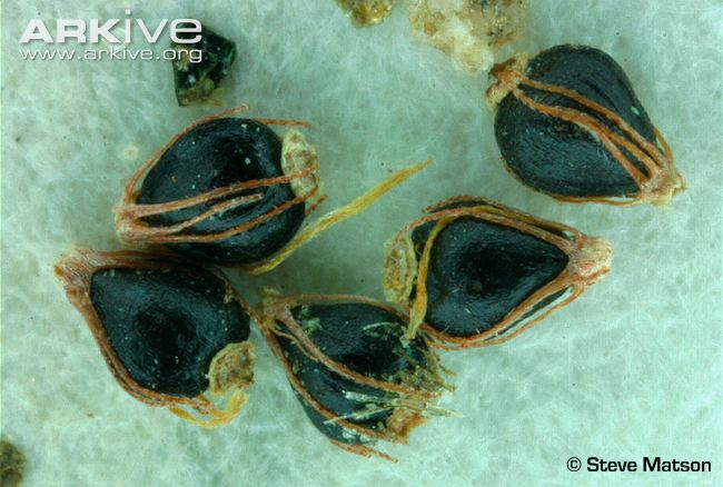 Canada-spikesedge-herbarium-specimen-seeds.jpg