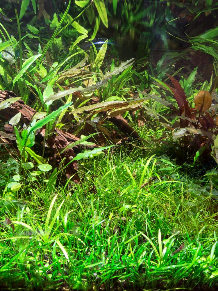 Cryptocoryne Parva Low Tech | UK Aquatic Plant Society