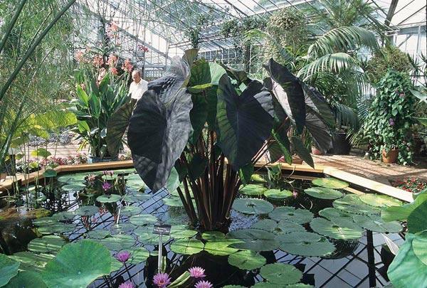 Colocasia-esculenta-Black-Magic.jpg