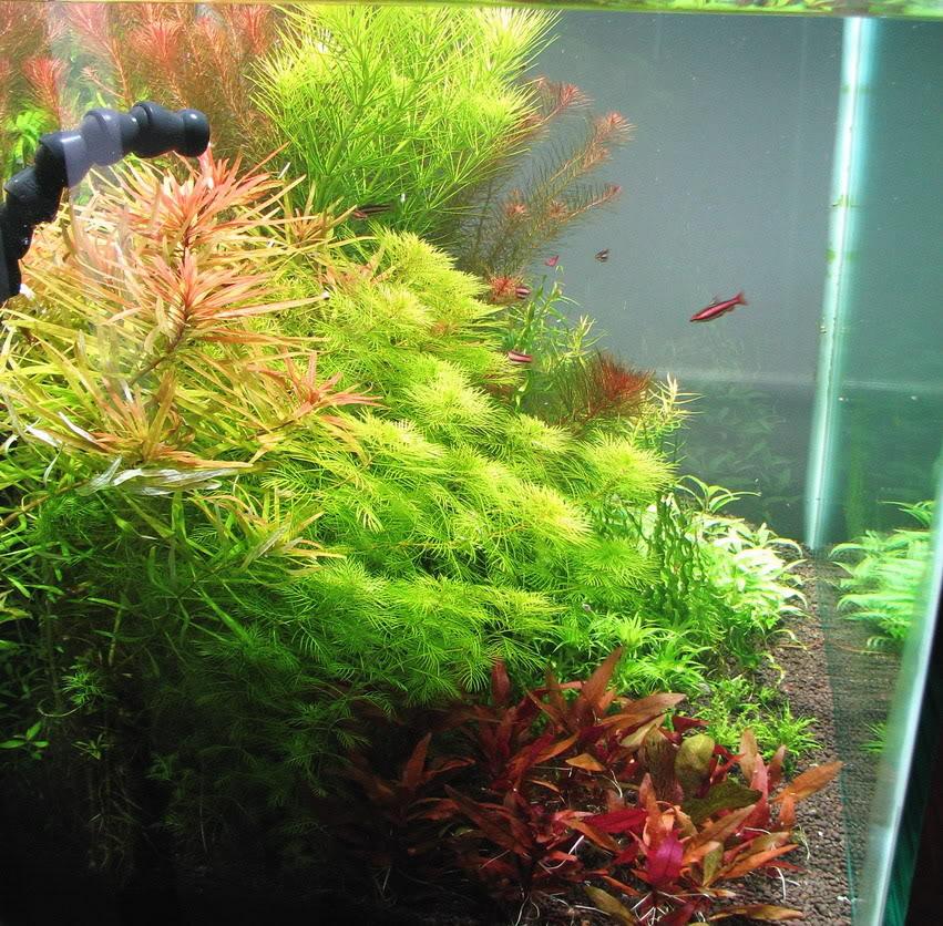 coralredwrkpencilfishtank.jpg
