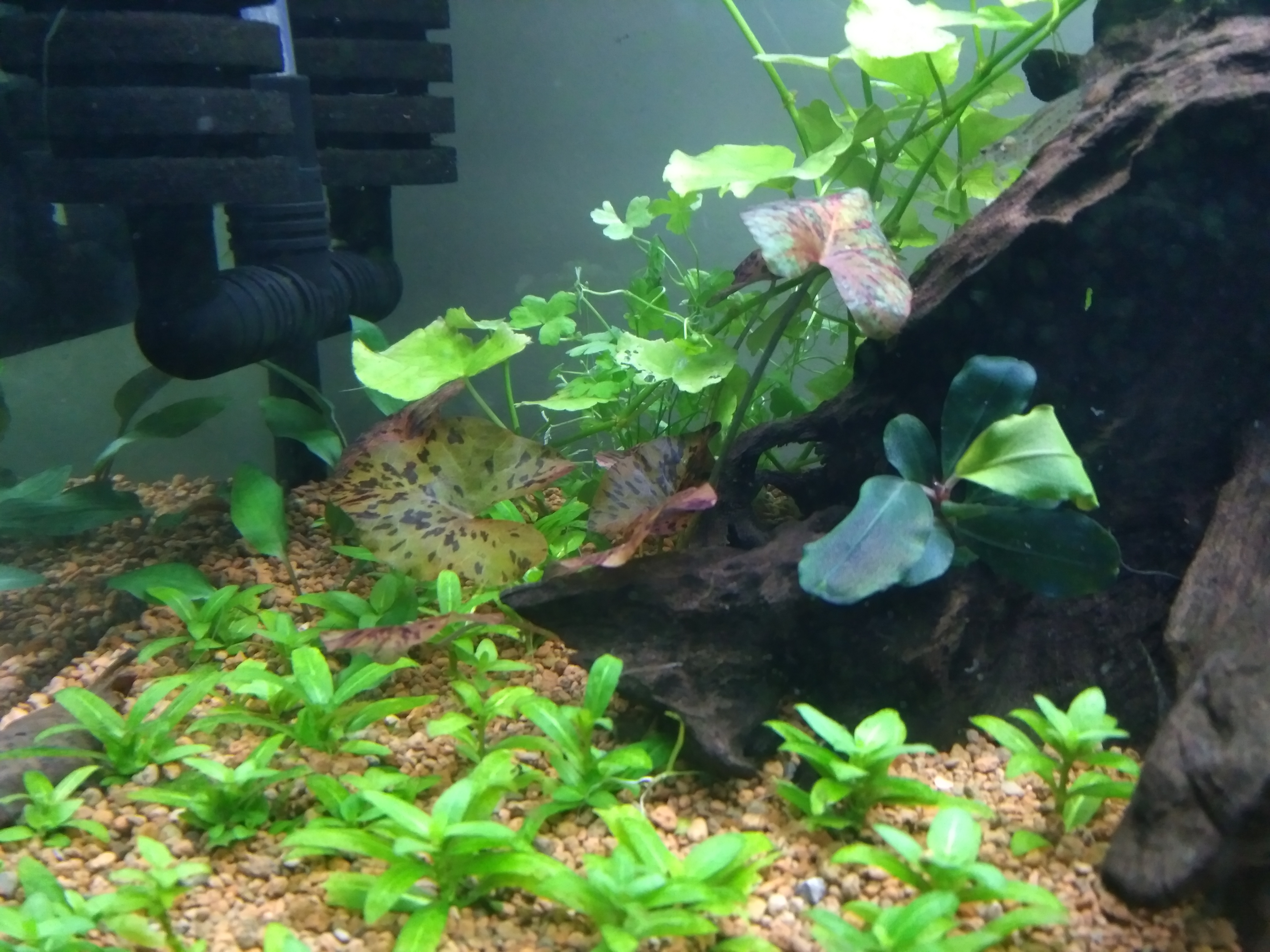 crypt becketti Petchii planted.jpg