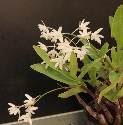 Dendrobium_delicatum1_zpshkb8fibg.jpg