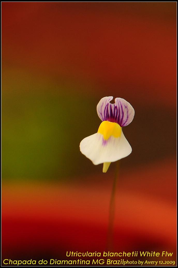 DSC_0820_nEO_IMG_Utricularia_blanchetii_White_Flw.jpg