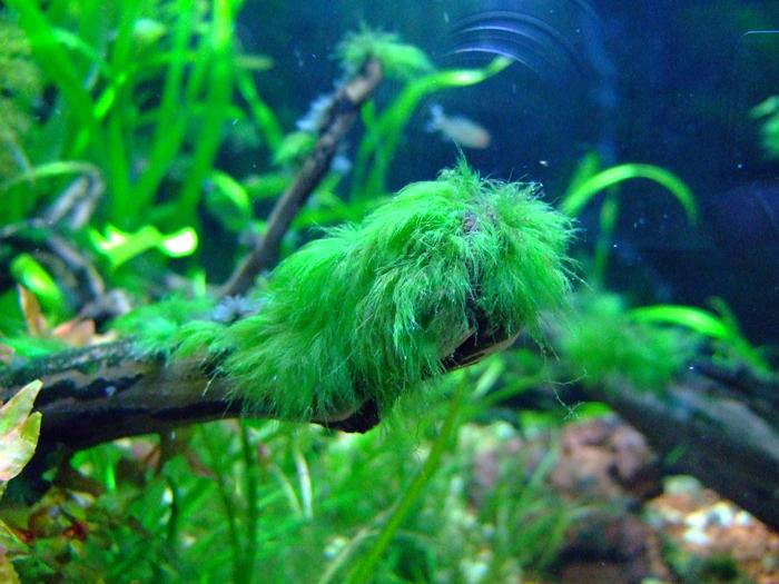green_beard_algae-jpg.1653