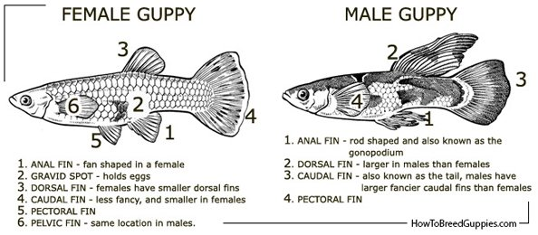 guppy_anatomy_v_1401705079.jpg