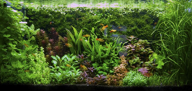 300L pseudo-Dutch style Planted Tank UK Aquatic Plant Society