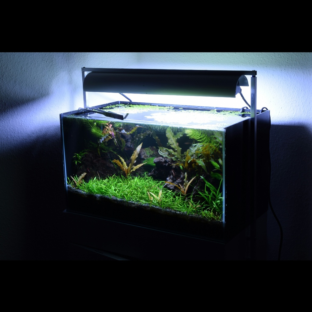 Cryptocoryne Parva Carpet | UK Aquatic Plant Society