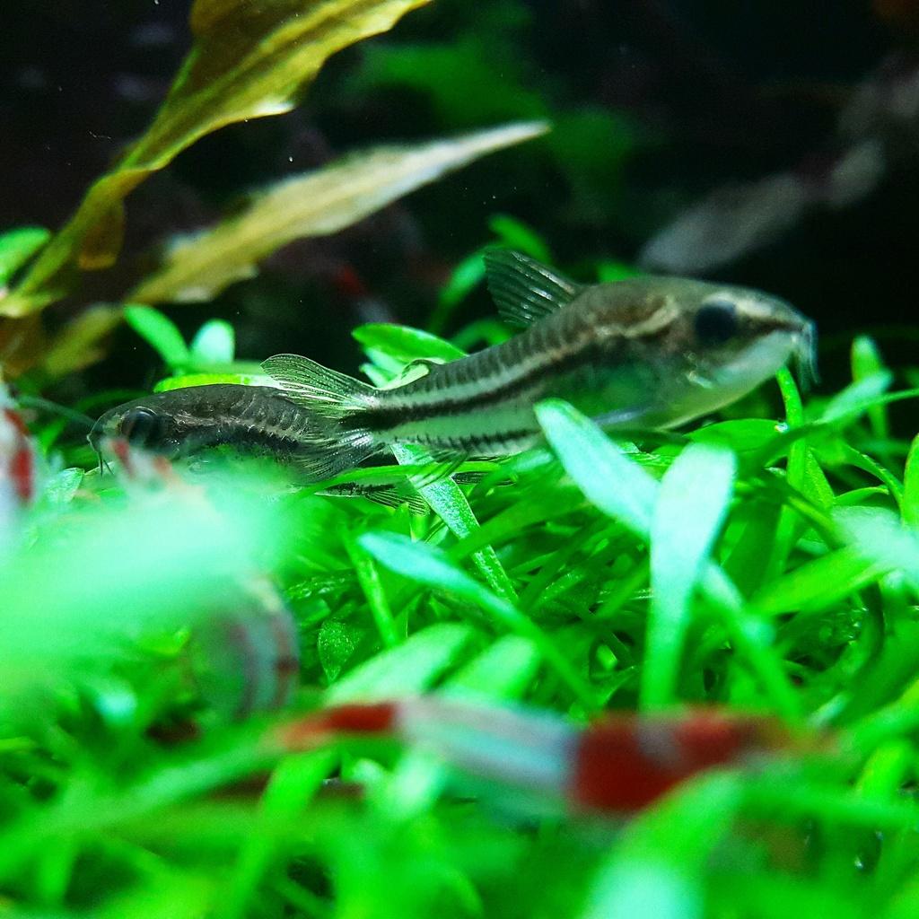Cryptocoryne Parva Carpet | Page 3 | UK Aquatic Plant Society