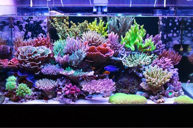 japanese-sps-acropora-reef-tank.jpeg