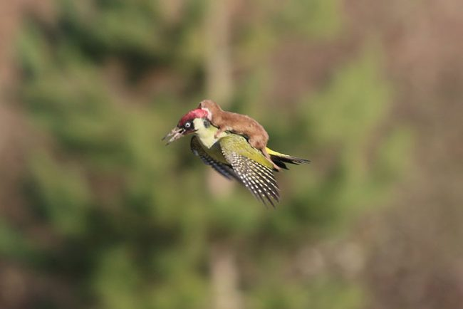 l-takes-a-magical-ride-on-woodpeckers-back-650x434.jpg