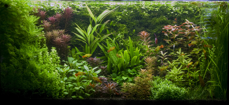 ... pseudo-Dutch style Planted Tank Page 3 UK Aquatic Plant Society