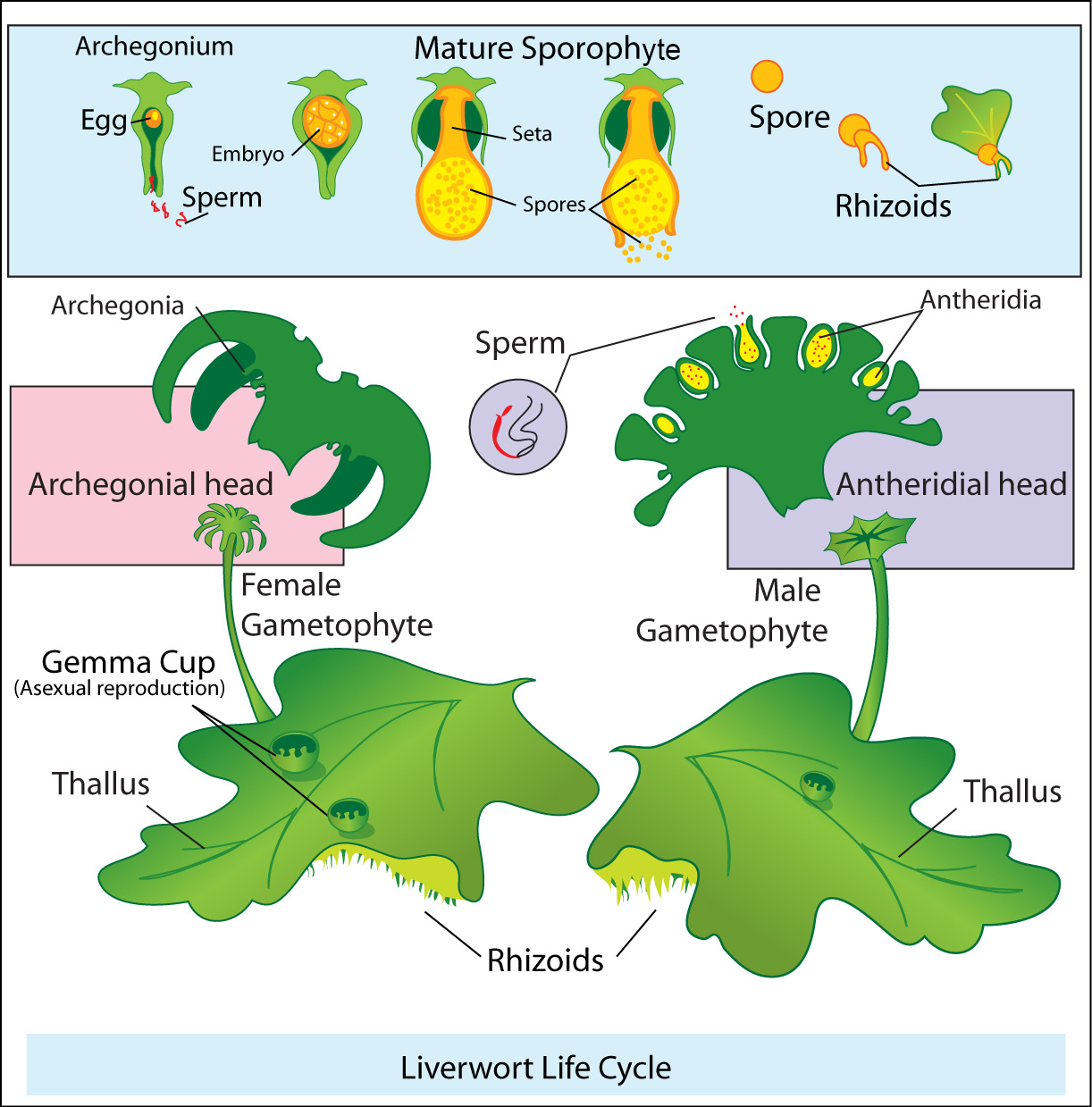 Liverwort_life_cycle.jpg