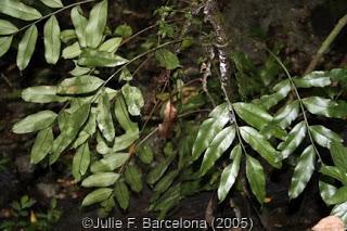 Lomariopsis+lineata.jpg
