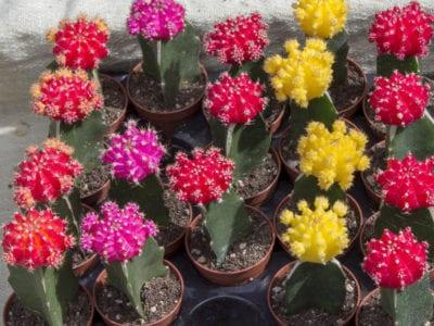moon-cactus-400x300.jpg