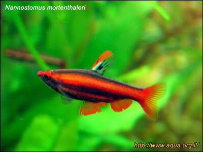 nannostomus_mortenthaleri2.jpg