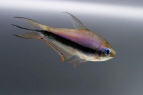 Nematobrycon-palmeri-male-288x192.jpg