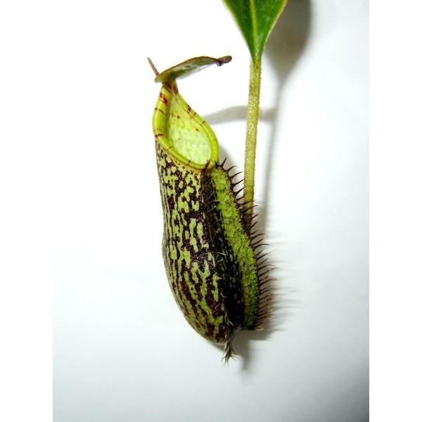 nepenthes-spectabilis-sibuatan.jpg