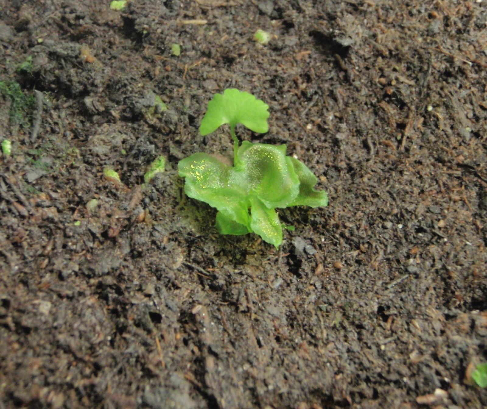 Onoclea_sensibilis_3_crop.JPG
