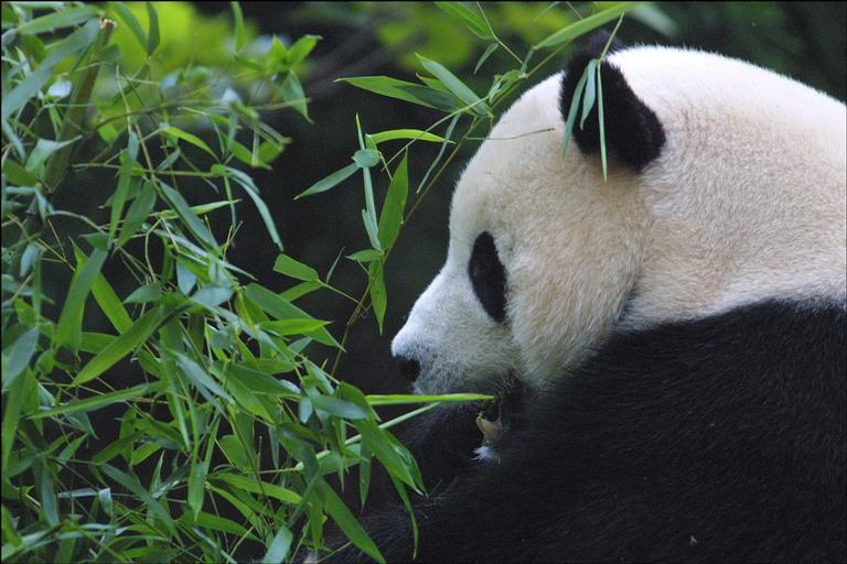 panda-bamboo.jpg