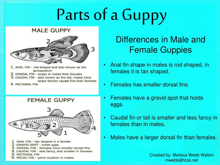 parts-of-a-guppy-n.jpg