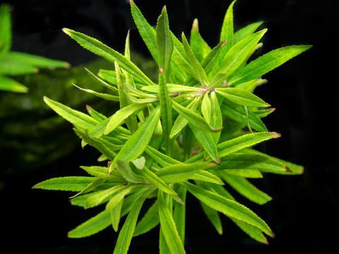Pogostemon-stellatus-Broad-Leaf-2_large.jpg