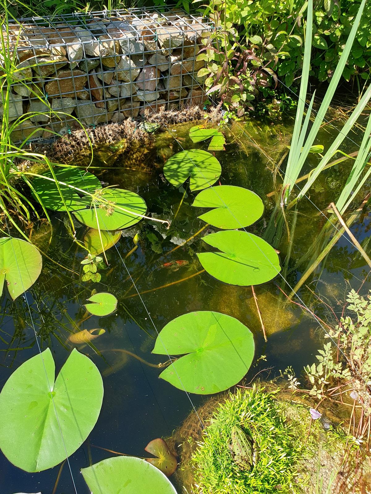 pondsarasafrogs.jpg