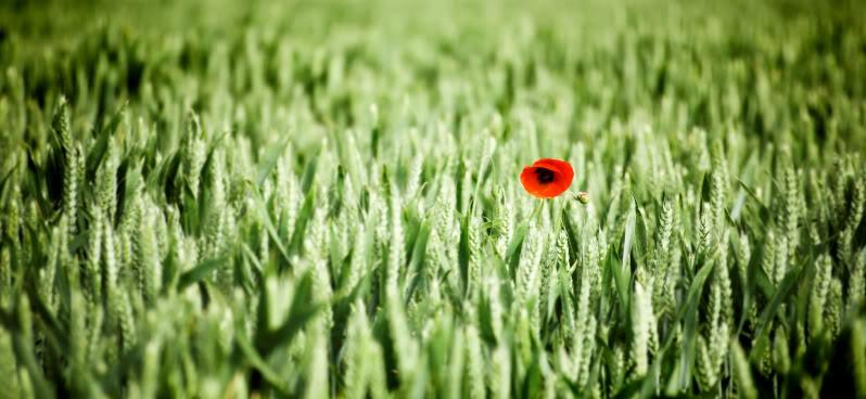 poppy1.jpg