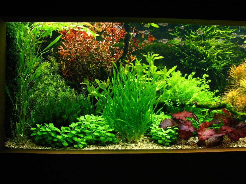 Dutch Aquarium Plants : plantbrain Expert