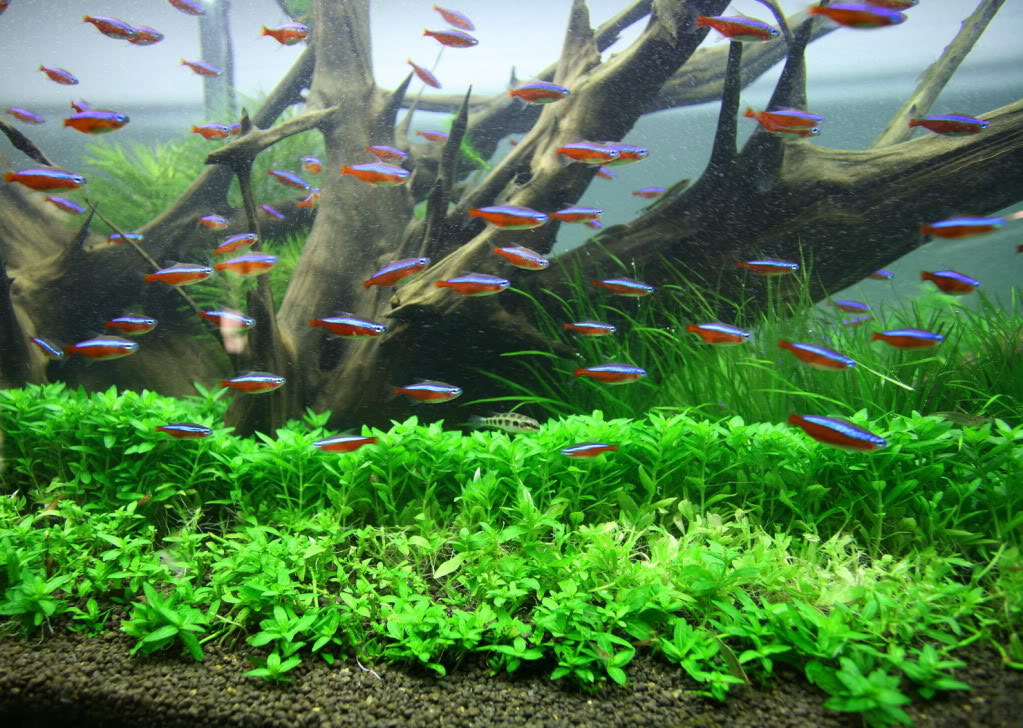resizedtrimcards1.jpg & Tips on the perfect Staurogyne repens carpet | UK Aquatic Plant ... azcodes.com