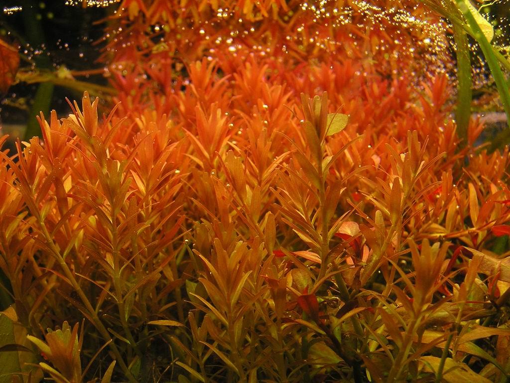 rotala-rotundifolia.jpg