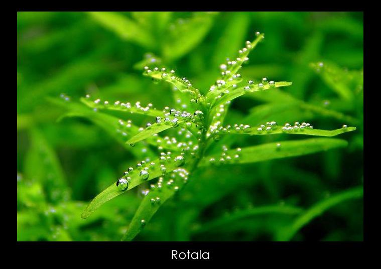 Rotala_1.jpg