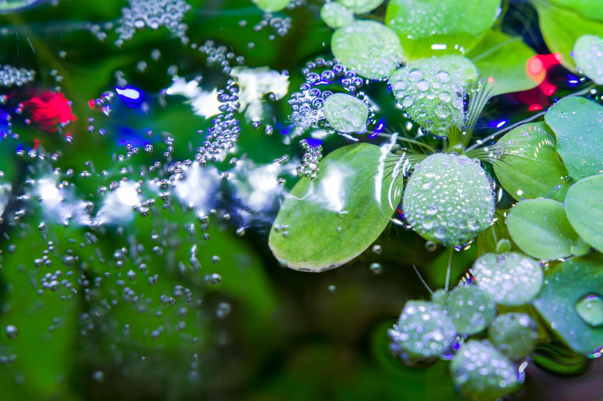 Sept 19- Water Lettuce_IMGP6531.jpg