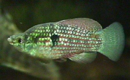 Shari_american_flagfish.jpg