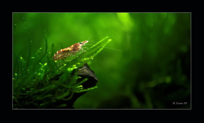 shrimpy1.jpg