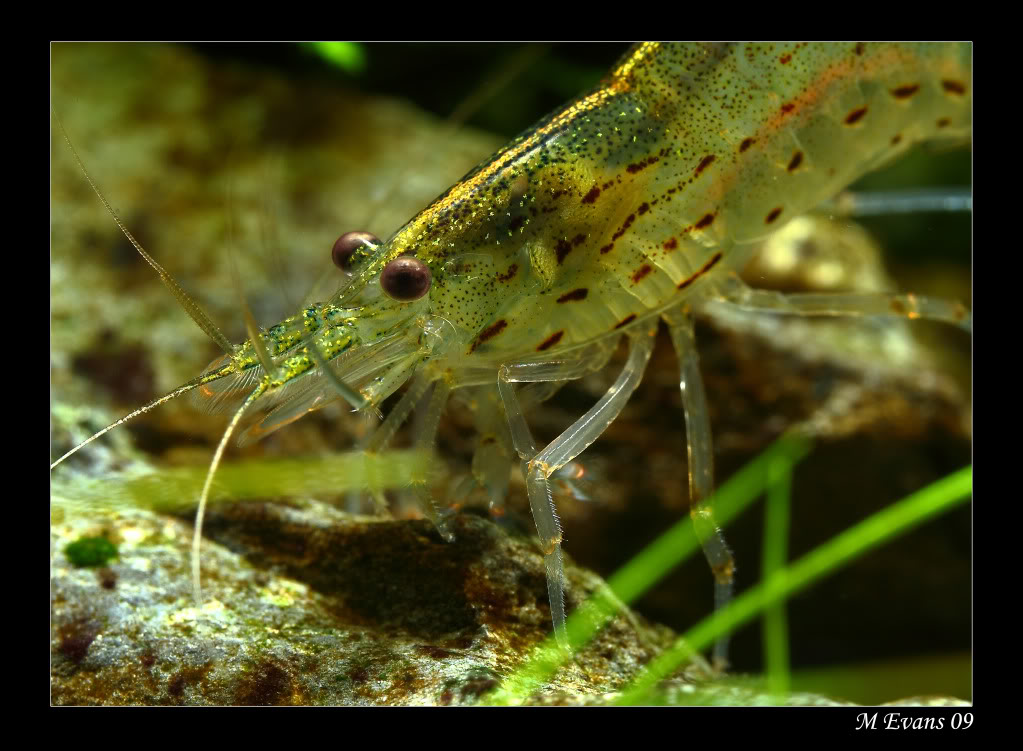 shrimpyclose.jpg